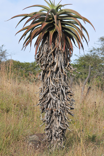The dry leaves of these aloes are crushed into fine powder and use as snuff by the locals.