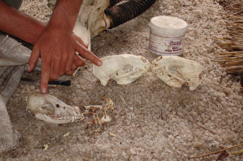 From left to right – the skulls of the side-striped jackal and two excellent honeybadgers side by side.