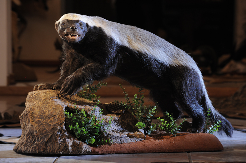 The honeybadger in my trophy rooms.
