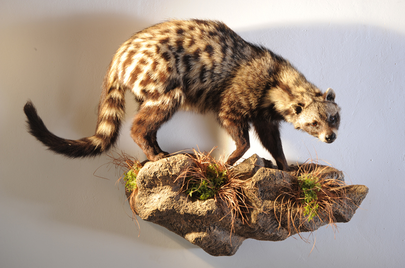 A civet in my trophy rooms.