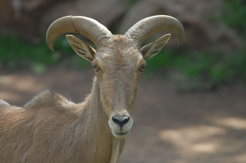 A female Barbary sheep ewe.