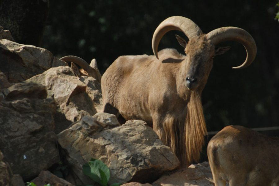 Barbary Sheep Hunt in Chad