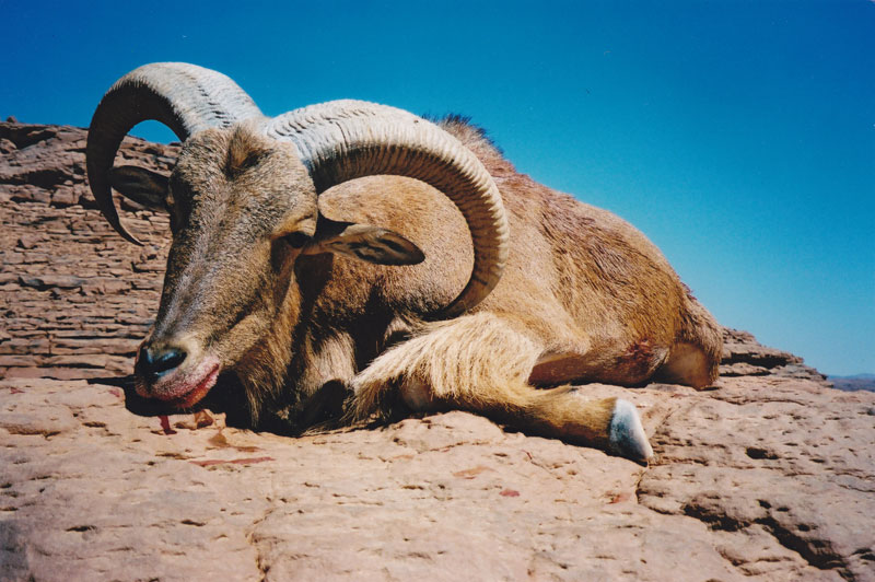 My first Barbary sheep in the Ennedi Mountains  -  a good representative ram.