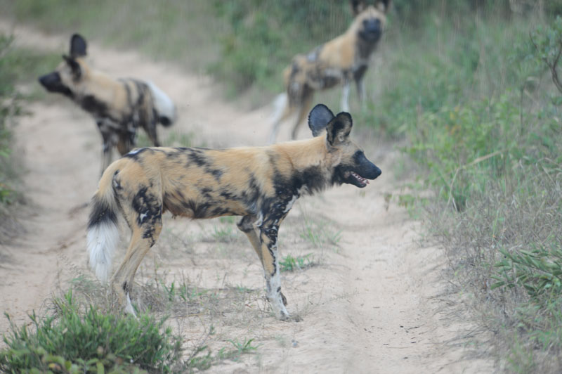 Painted wolves, the Latin taxonimic name for the Cape hunting dogs whose paths we crossed. We were both hunting.