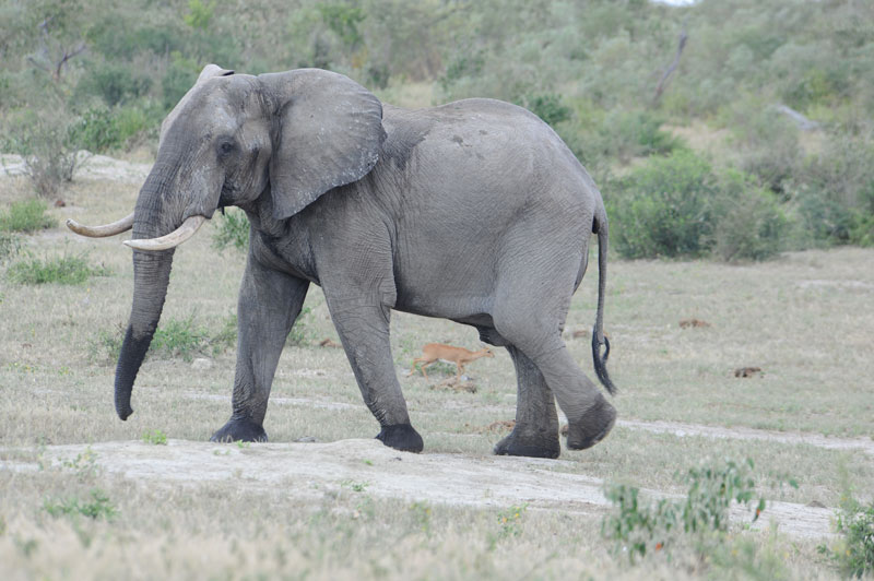One of the big bodied Botswana bulls with thin tusks probably in the 40 pound range. Note the little steinbuck between its legs.