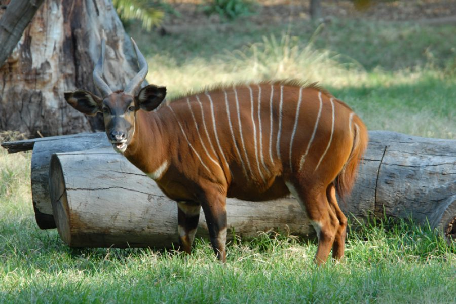 Bongo – the African Hunting Icon
