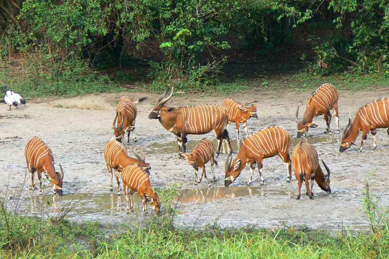 A close-up of 11 bongo, part of a herd of 19 as mentioned in the article.