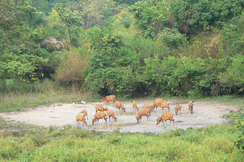16 bongo on a salt lick in CAR. Three are missing from the original 19 that the hunters saw on their return to their machan at the salt lick.