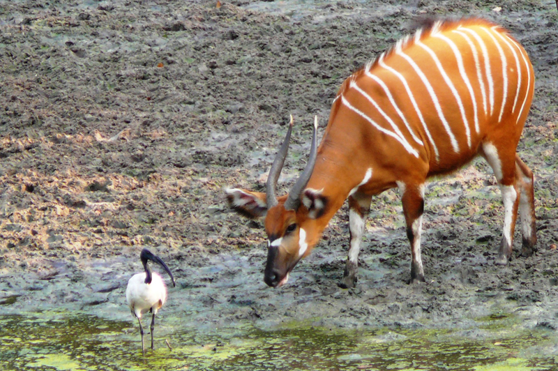 A young bongo cow investigating a sacred ibis.