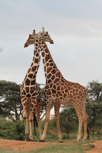 Maasai or Kilimanjaro giraffe, the most common sub-species of giraffe and found in central Kenya and Tanzania.