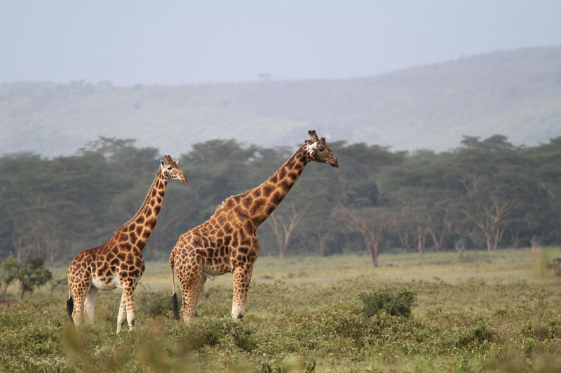 Maasai or kilimanjaro giraffe at Lake Nakuru, Kenya.