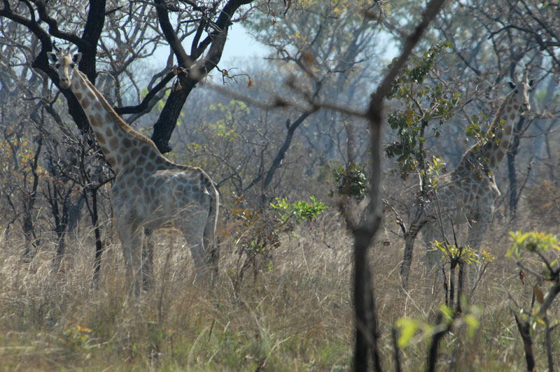 A pale Kordofan giraffe from north central Cameroon seen while I was hunting giant eland. These rare giraffe are also found in southern Chad and north eastern DRC and are said to number only some 3 000.