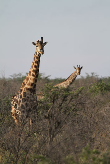 A South African giraffe found in northern South Africa (where they are plentiful(, southern Botswana, southern Zimbabwe and south western Mocambique. Although their numbers are quoted as some 12 000, in my opinion, this is an underestimation and this number is probably found in South Africa alone.