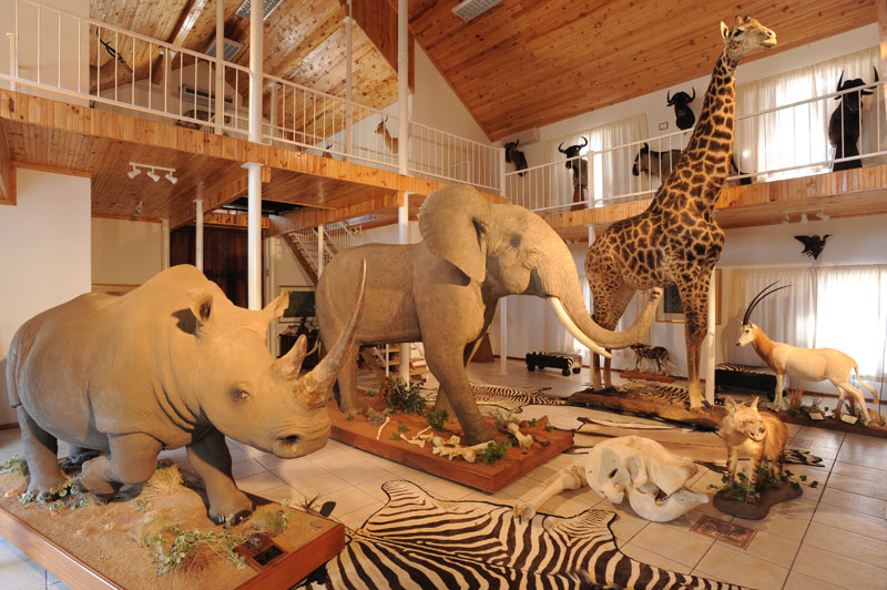 The giraffe which I hunted in the article now mounted and displayed in the main trophy room on Bankfontein game ranch along with a big rain forest elephant and an equally large white rhinoceros.