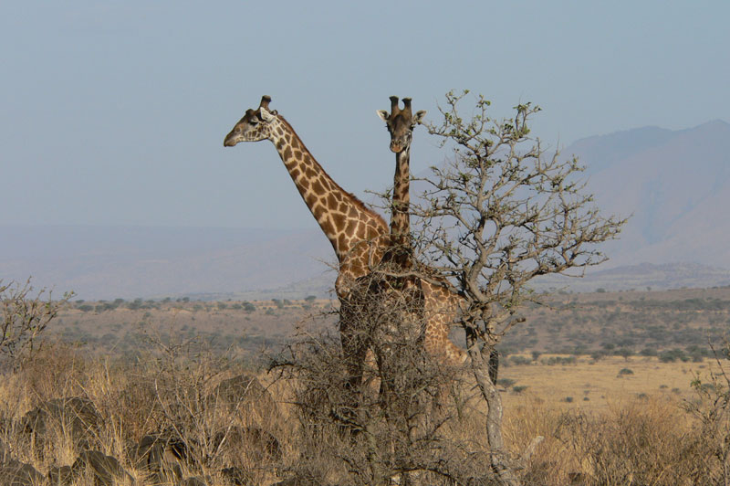 A male and female Maasai or Kilimanjaro giraffe from Maasailand, Tanzania. Numbered at some 40 000 they are also found in central Kenya.