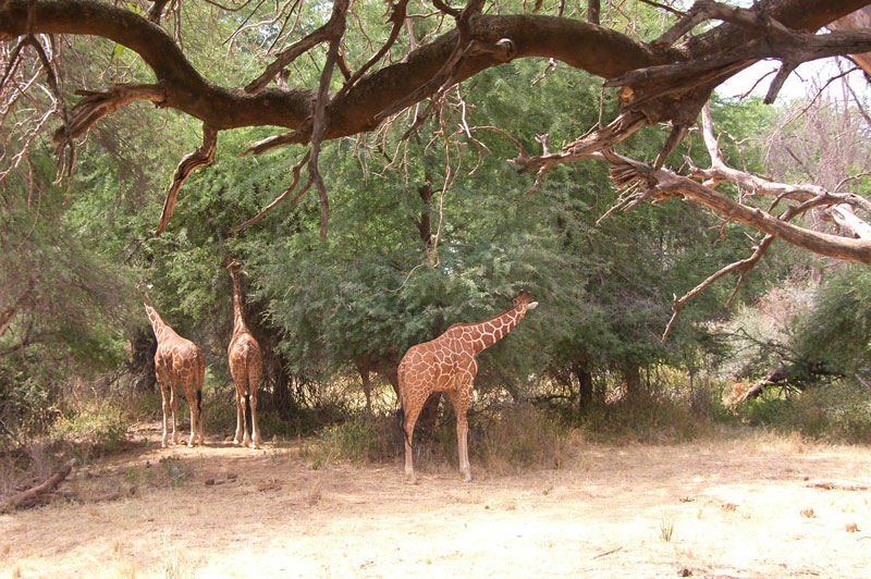 Three reticulated giraffe from north eastern Kenya. They are also found in small and diminishing numbers in southern Ethiopia and Somalia and there are said to be no more than 500 in the wild.