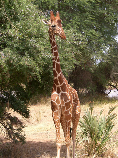 A Maasai or Kilimanjaro giraffe showing the third horn or ossicone in the middle of its forehead that older male giraffes sometimes develop.