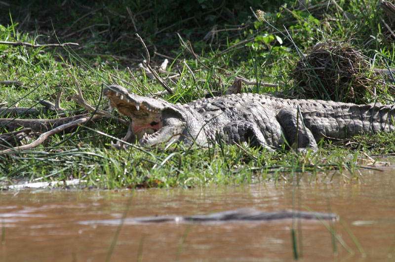 Crocodiles - Birds Or Lizards?