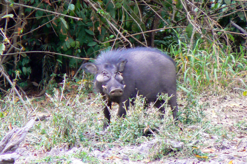 A young giant forest hog boar at the Batou salt lick.