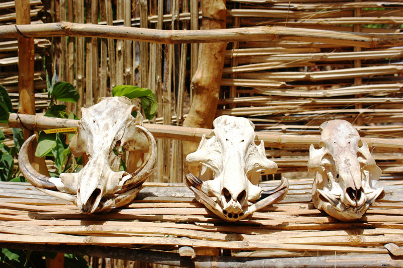 The skulls of, from left to right: warthog, giant forest hog and red river hog, all shot on the same safari by the author and his hunting partner.
