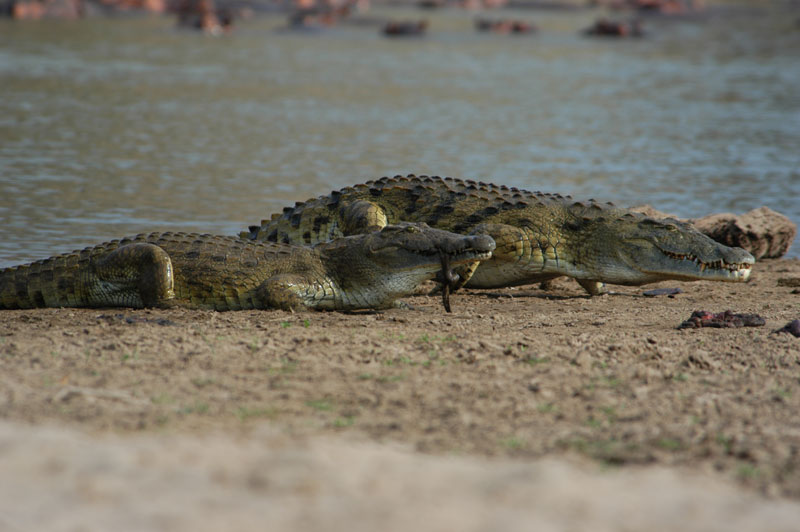Where there are hippos there are invariably crocs. They seem to tolerate one another except when the hippos have young and there is more than one reported case of hippos biting crocs clean in two.