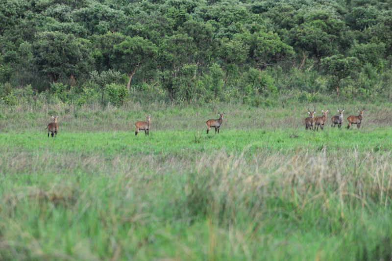 A herd of Abyssinian waterbuck. Although these animals are classified as East African defassa waterbuck, they look nothing like the standard animal and, as can be seen, have orangey brown coats, pitch black lower legs and are much smaller – about the same size as the differently categorized Crawshay's waterbuck from Zambia albeit completely different to these grey beasts as well.