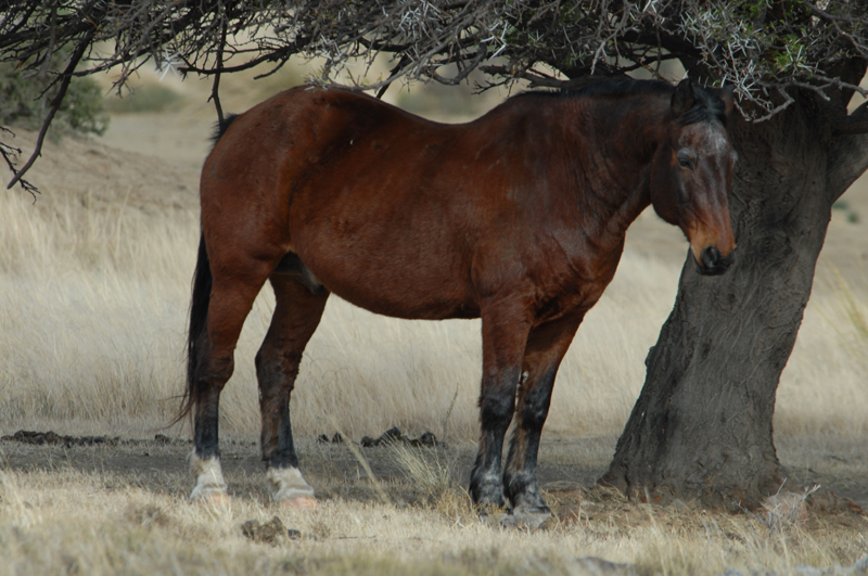 Soldaat, my faithful, old horse, now retired and under his favourite tree on Springbokvlakte on Bankfontein.