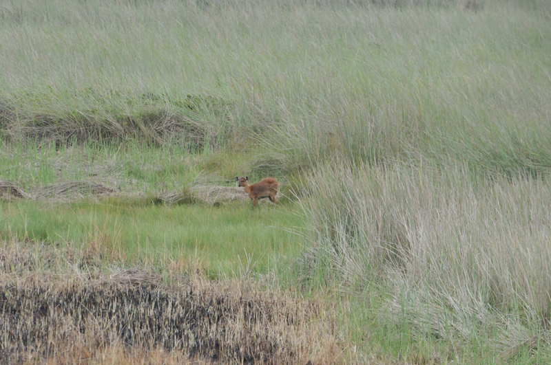 A young sitatunga cow at the end of the shooting lane cut from the palm machan into the swamp for a distance of about 250 metres.