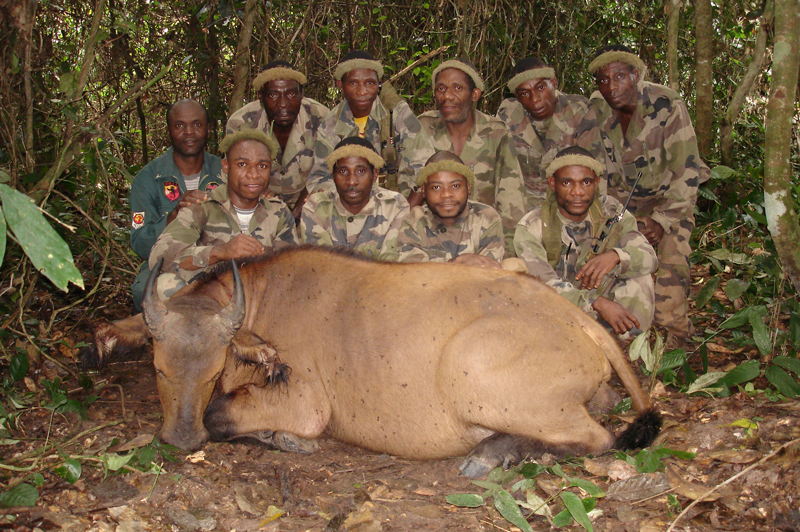 My pygmy tracking team in the rain forests of Cameroon posing with the dwarf forest buffalo cow I managed to shoot at four paces as it ran directly towards us. Back left is Pablo the driver and front left my gun bearer, Mombato. The rest are Remi, Joseph, Paul, Mongokelly, Denis and Norbert.