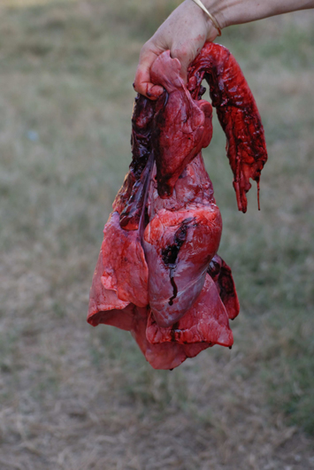 The heart of the first sable bull showing the bullet hole through the middle of the heart.