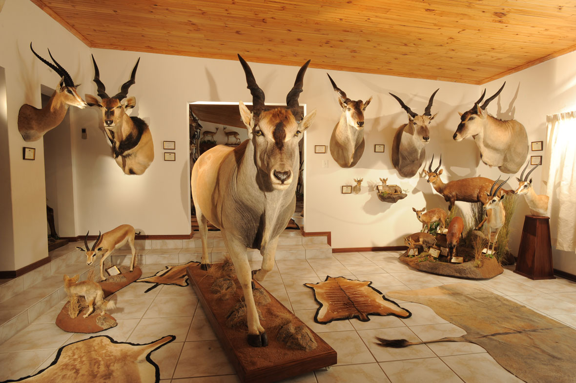 ELAND WEST: All the eland subspecies with the exception of the Western giant eland which is no longer huntable. From left to right – Lord Derby's, Cape, Livingstone's and Patterson's.