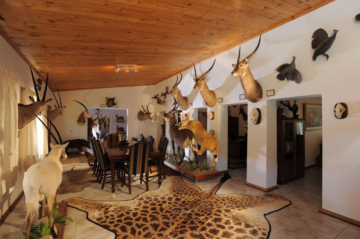 BOARDROOM EAST: This is the boardroom in the museum and contains Arabian, beisa, beisa and scimitar horned oryxes on the left and common, sing-sing, common and East Africa defassa waterbuck on the right with the lioness climbing on to a Crawshay's waterbuck full mount.
