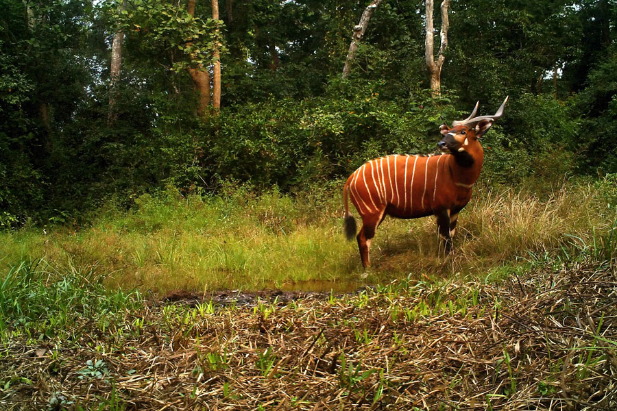 A mature Western or lowland bongo. Photo courtesy of Thierry Aebischer and Raffael Hickisch of the Chinko Project in the Central African Republic.
