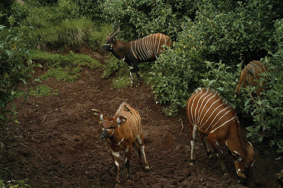 A photo of an Eastern, Kenya or mountain bongo showing  a dark, mature bull in the background, taken by one of the trail cameras deployed by the Bongo Surveillance Project led by Mike Prettejohn, an ex professional hunter.