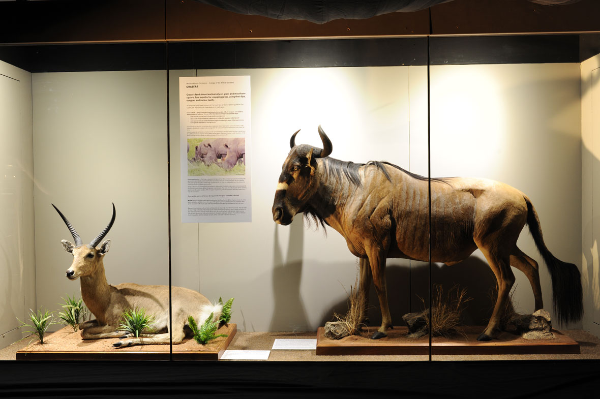 A common reedbuck from KwaZulu-Natal in South Africa and a Nyasaland gnu from the Selous Game Reserve in Tanzania, making up the Grazers exhibit.