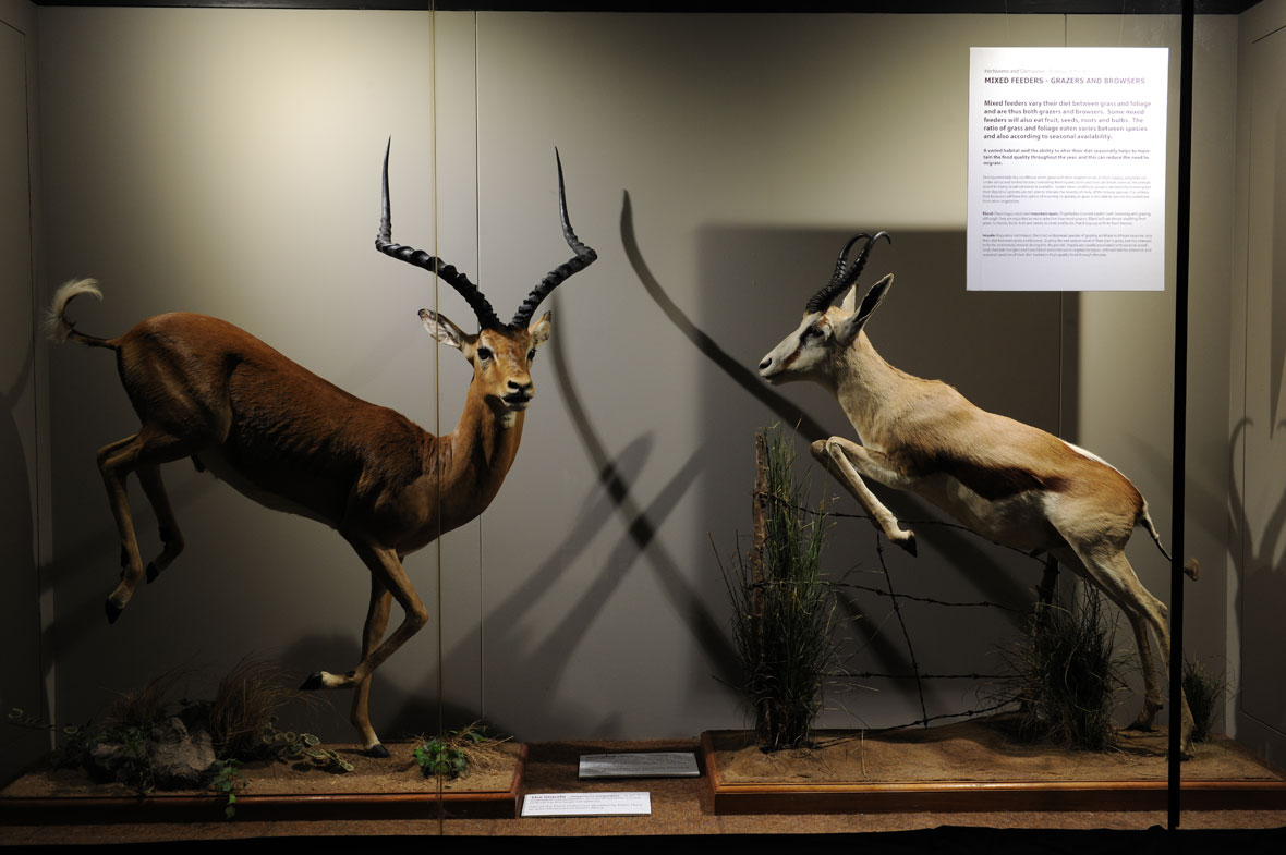 A huge East Africa impala from the Serengetti and a South African springbok, both of which are browsers and grazers as the name of the exhibit implies.