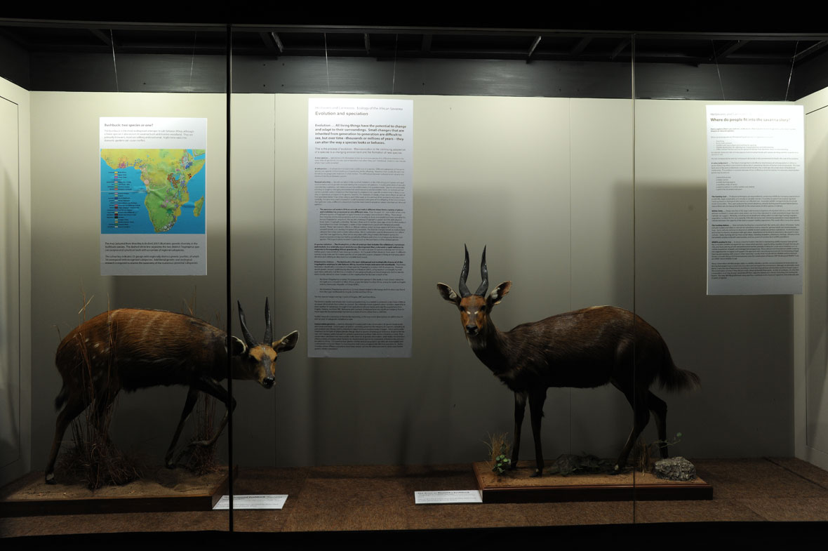 A harnessed bushbuck from the Central African Republic and a Menelik's bushbuck from Ethiopia, two of 11 subspecies recognized by the two main international record books.