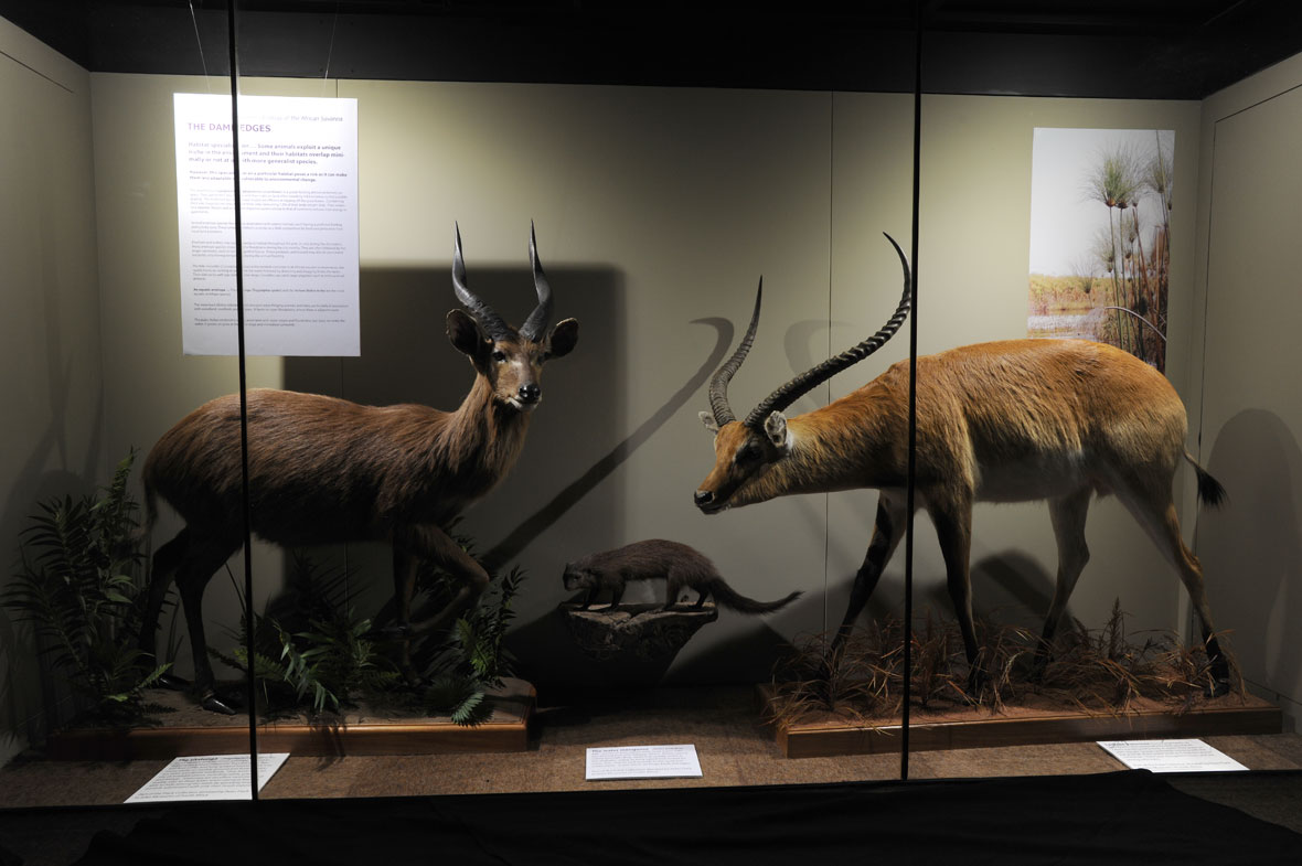 The Dam Edges exhibit consists of an Island sitatunga from the Ssesse Islands in Lake Victoria, a large grey mongoose and a Kafue lechwe from Blue Lagoon in Zambia.