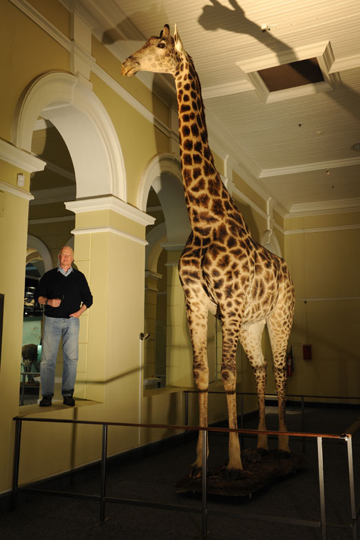 This enormous giraffe (19 feet 6 inches tall), was shot at the request of the game rancher as, on the one hand, it was killing the younger bulls but, on the other hand, not covering the cows. A lose/lose/lose situation, including for the giraffe.