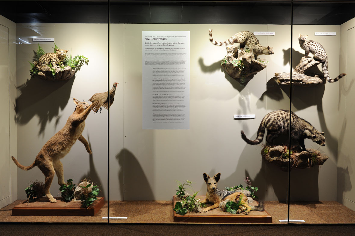 From left to right: African black-footed cat – which was found dead next to a farm track - caracal, black-backed jackal, small spotted genet, civet and large spotted genet.