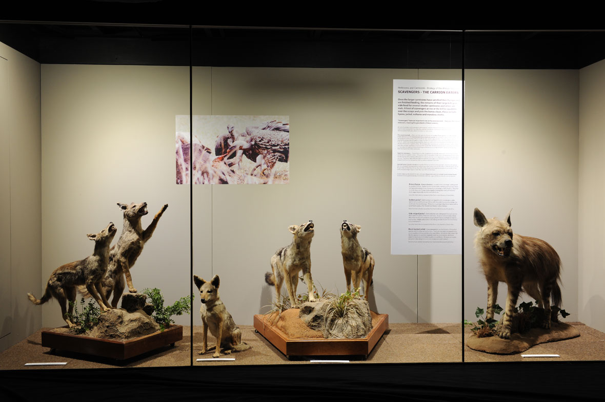 The Scavengers – Carrion Eaters exhibit is made up of two side-striped jackals, a lone sitting golden jackal, two black-backed jackals and a brown hyena.