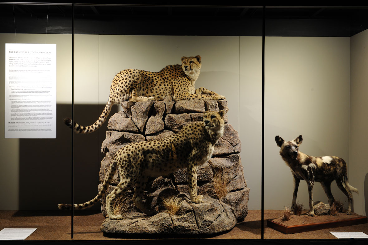 Two mature cheetah males from Namibia and a Cape hunting dog. The exhibit is entitled 'The Carnivores - Tooth and Claw'. The hunting dog died in the Johannesburg Zoo and the skin was obtained by my taxidermist.