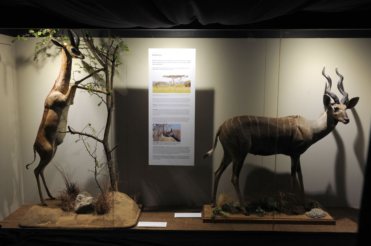 A Northern gerenuk from Ethiopia and a lesser kudu from Tanzania's Masailand making up the Browsers exhibit.