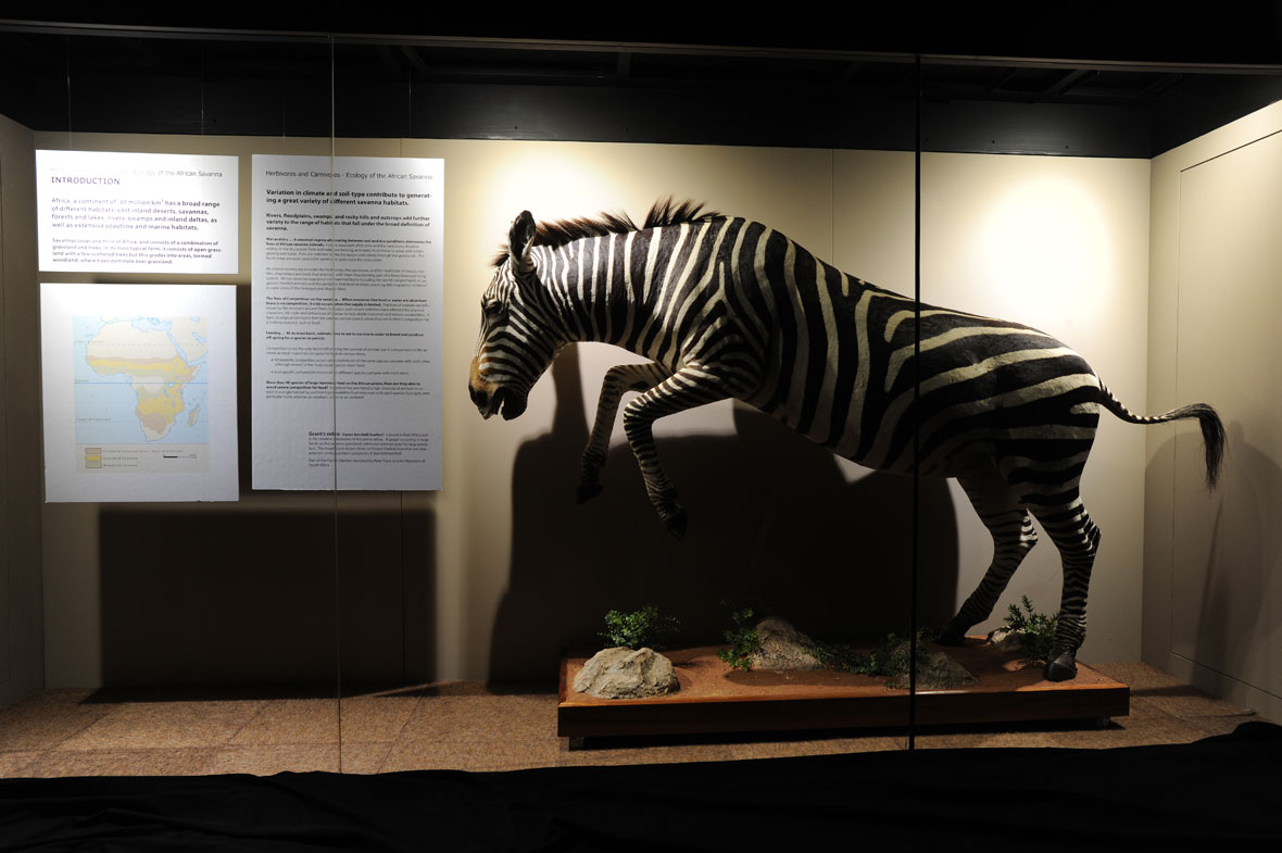 A plains zebra from Tanzania.