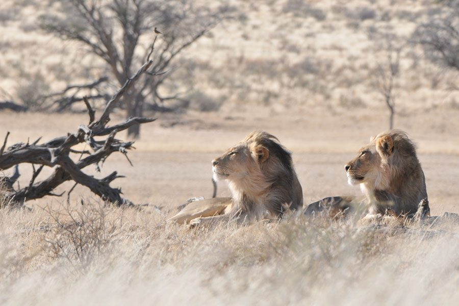 Kruger Park Lions