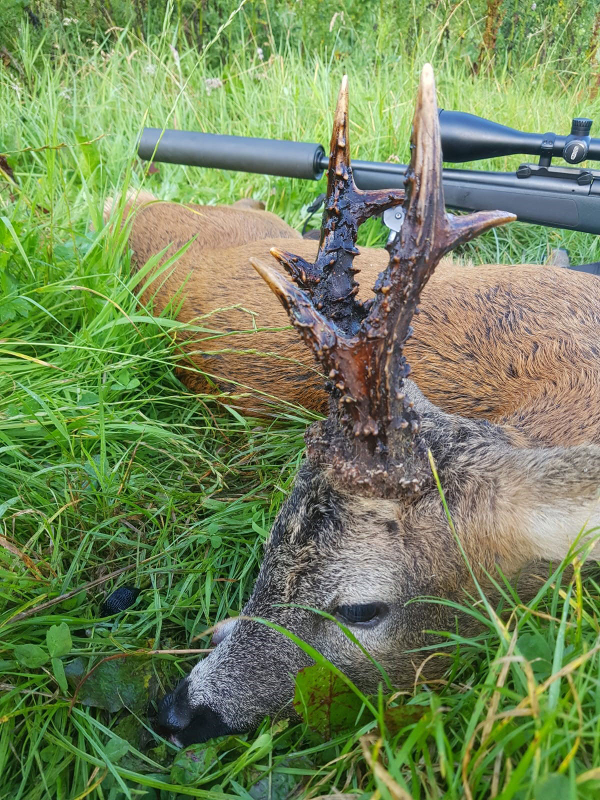 The magnificent, old, possible gold medal roe deer mentioned in the story with the hunter's Sako .270 in the background. Courtesy of Alistair Kinghorn