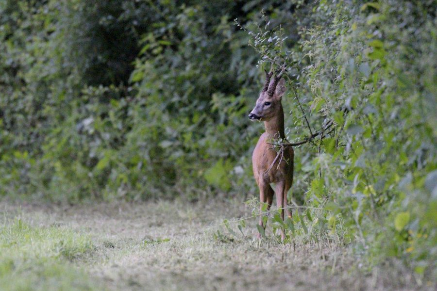 Scottish Roe Deer – Stalking and Conservation