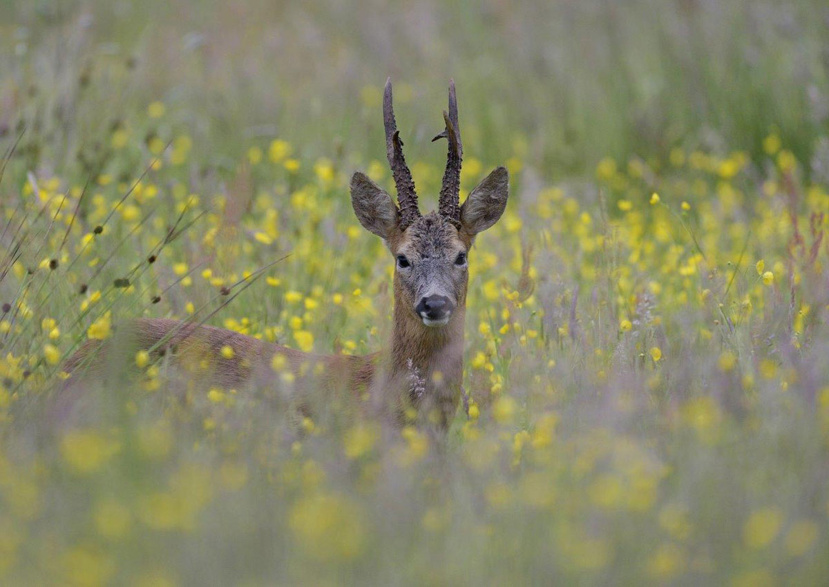 An excellent, mature roe deer buck its body hidden by the crops the farmer has planted at tax payer's expense to provide additional food and cover for the deer plus other game and wildlife. Courtesy of Dominic Regan
